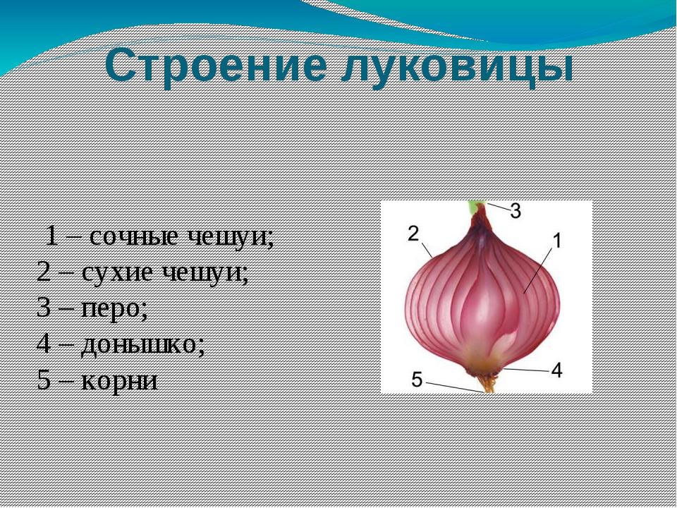 Строение луковицы 1 – сочные чешуи; 2 – сухие чешуи; 3 – перо; 4 – донышко; 5...