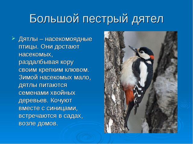 Большой пестрый дятел Дятлы – насекомоядные птицы. Они достают насекомых, раз...