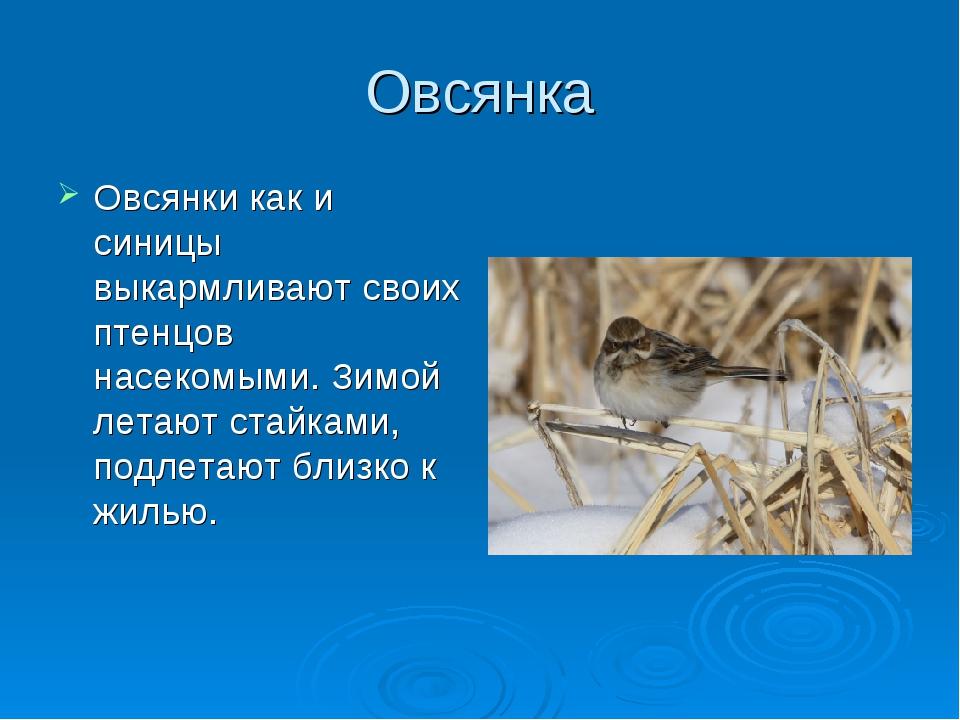 Овсянка Овсянки как и синицы выкармливают своих птенцов насекомыми. Зимой лет...