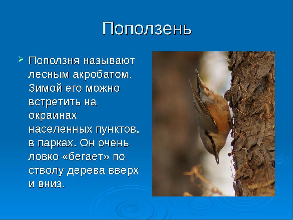 Поползень Поползня называют лесным акробатом. Зимой его можно встретить на ок...