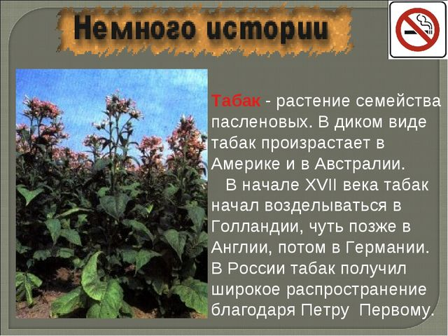 Табак - растение семейства пасленовых. В диком виде табак произрастает в Амер...
