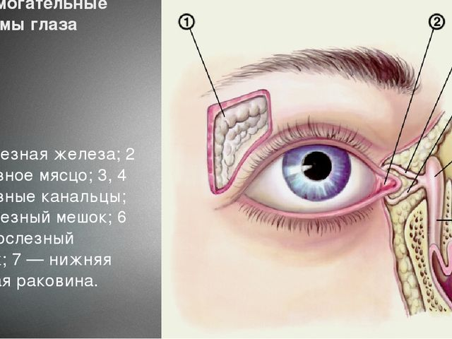 Вспомогательные системы глаза 1 — слезная железа; 2 — слезное мясцо; 3, 4 — с...