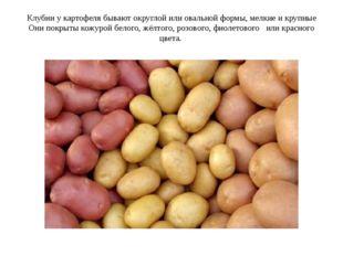 Клубни у картофеля бывают округлой или овальной формы, мелкие и крупные Они п
