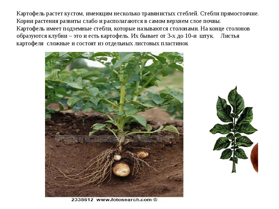 Картофель растет кустом, имеющим несколько травянистых стеблей. Стебли прямос...