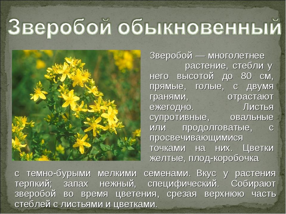 зверобой трава фото и описание