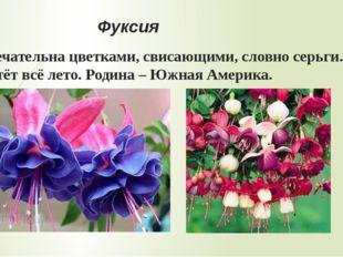 Гортензия Замечательна пышными «шариками» из многочисленных цветков. Родина –