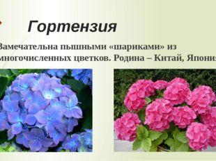Герань Очень распространённое комнатное растение. Цветки состоят из множества