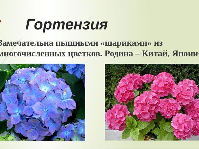 Герань Очень распространённое комнатное растение. Цветки состоят из множества...