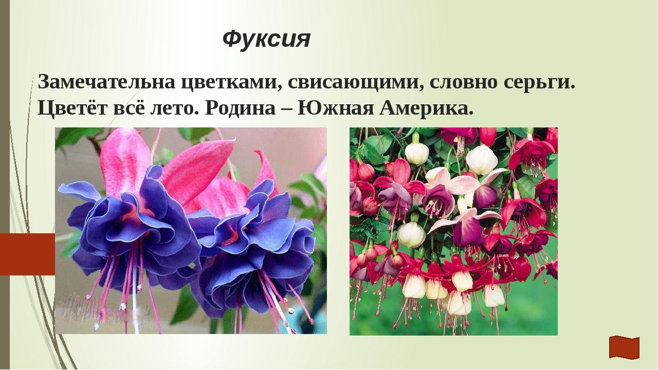 Гортензия Замечательна пышными «шариками» из многочисленных цветков. Родина –...