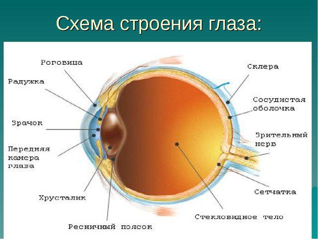 Схема строения глаза: