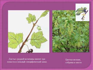 Листья средней величины имеют три лопасти и сильный специфический запах Цветк