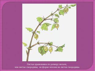 Листья крыжовника по размеру мельче, чем листья смородины, но форме похожи на
