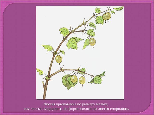 Листья крыжовника по размеру мельче, чем листья смородины, но форме похожи на...