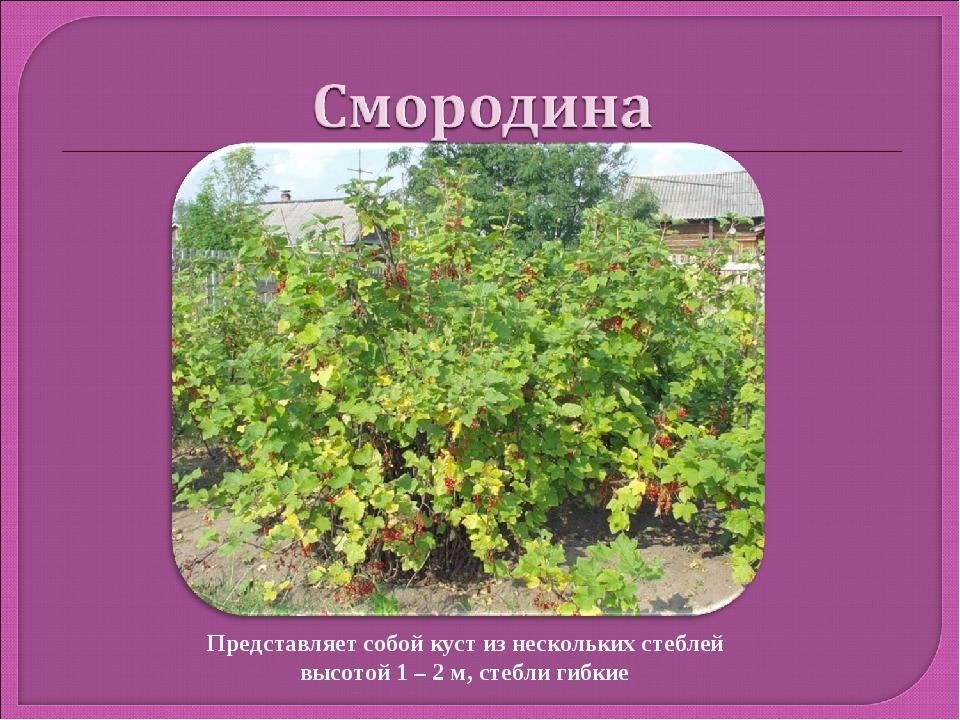 Представляет собой куст из нескольких стеблей высотой 1 – 2 м, стебли гибкие