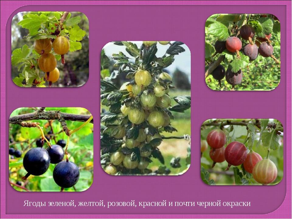 Ягоды зеленой, желтой, розовой, красной и почти черной окраски