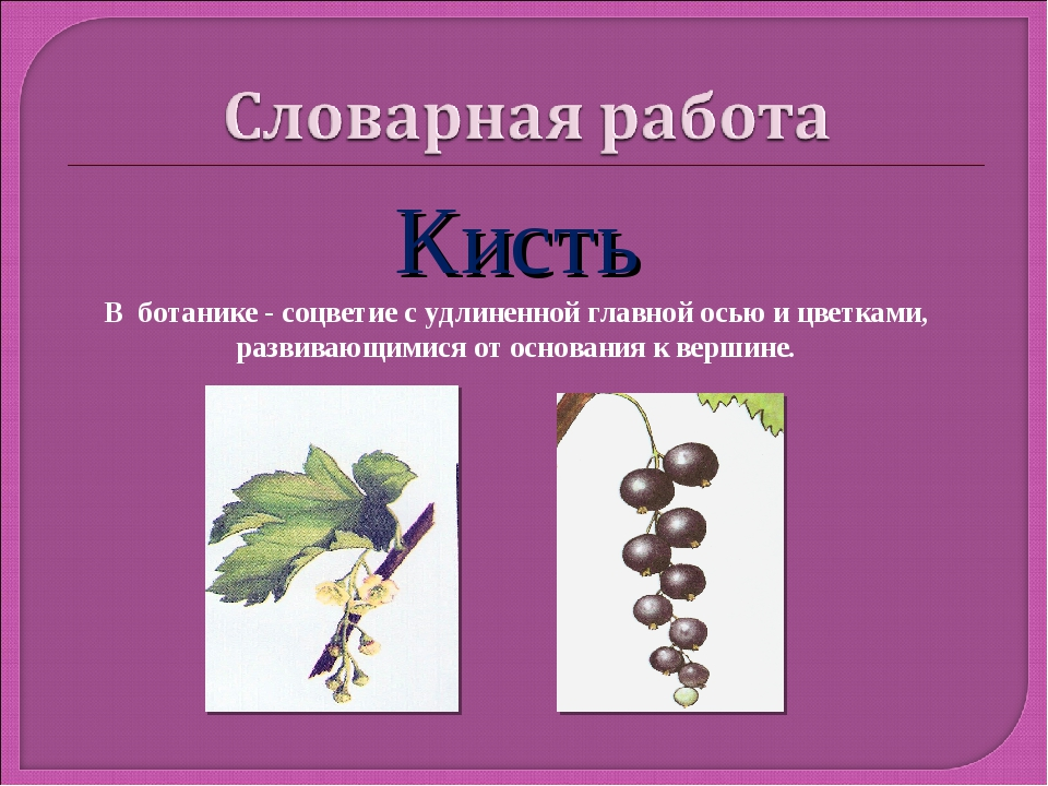 Кисть В ботанике - соцветие с удлиненной главной осью и цветками, развивающим...