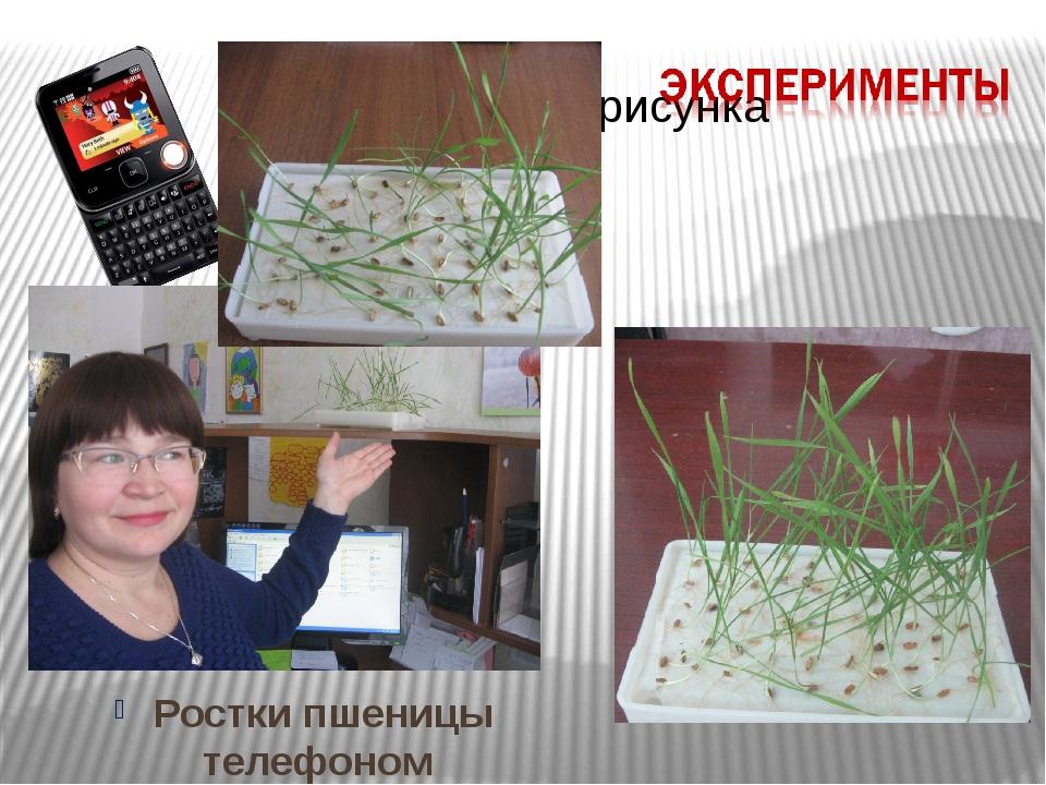 Ростки пшеницы телефоном облучали!