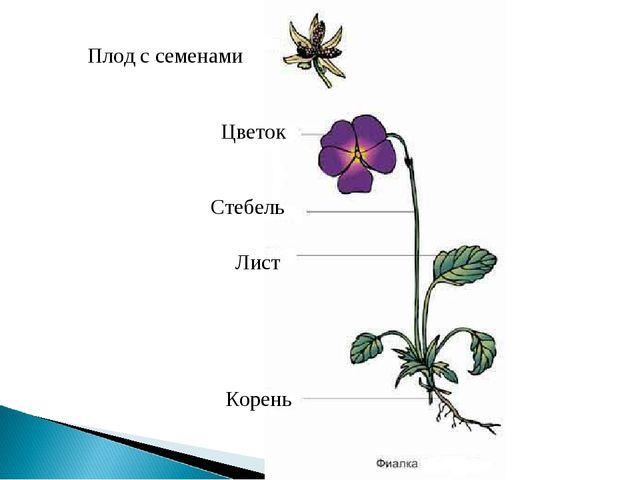 Плод с семенами Лист Стебель Цветок Корень