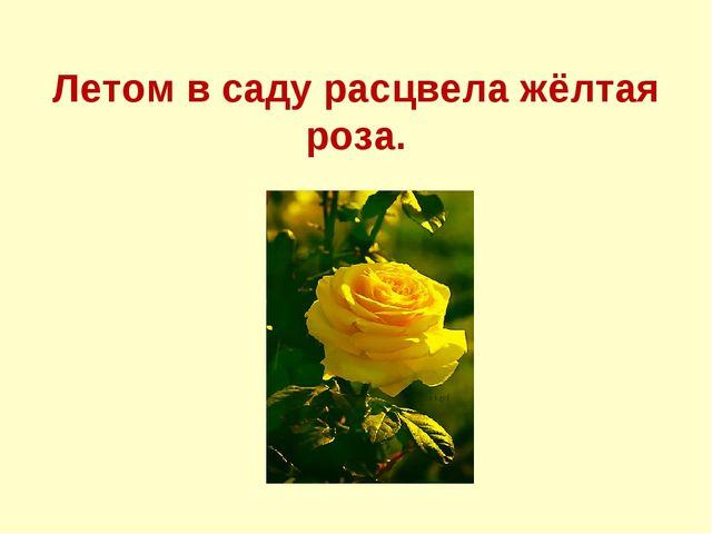 Летом в саду расцвела жёлтая роза.