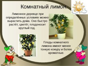 Комнатный лимон. Лимонное деревце при определённых условиях можно вырастить д