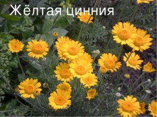 Жёлтая цинния