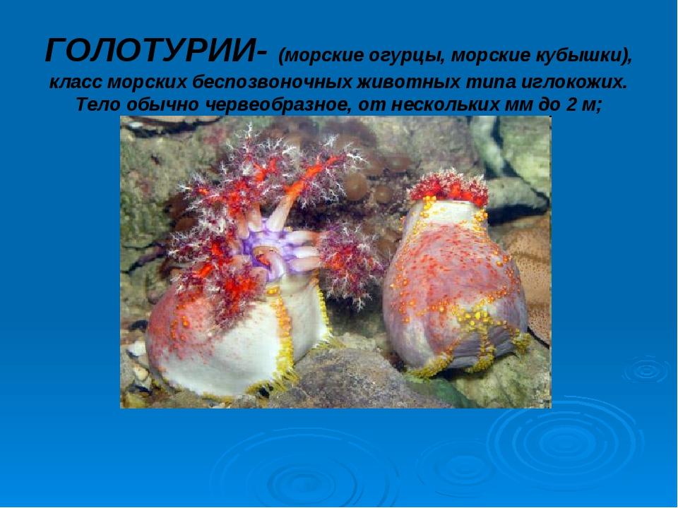 ГОЛОТУРИИ- (морские огурцы, морские кубышки), класс морских беспозвоночных жи...
