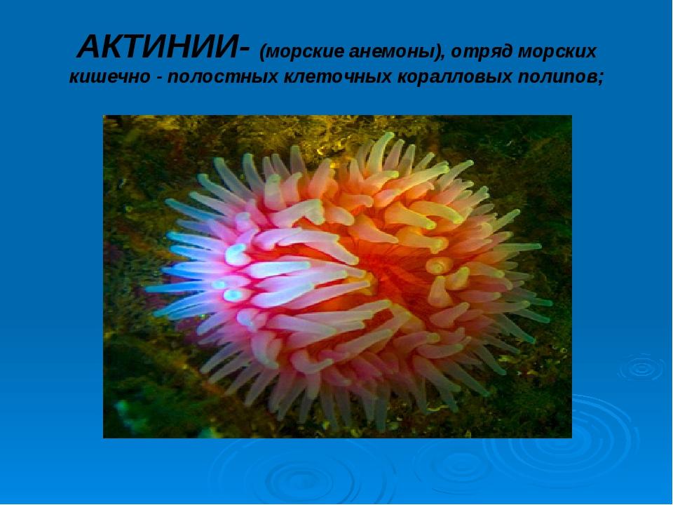 АКТИНИИ- (морские анемоны), отряд морских кишечно - полостных клеточных корал...