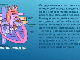 Строение сердца Сердце человека состоит из двух предсердий и двух желудочков.