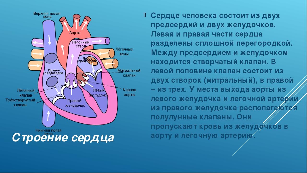 Строение сердца Сердце человека состоит из двух предсердий и двух желудочков....