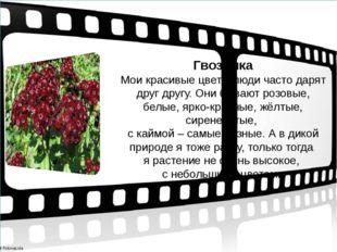 Гвоздика Мои красивые цветы люди часто дарят друг другу. Они бывают розовые,