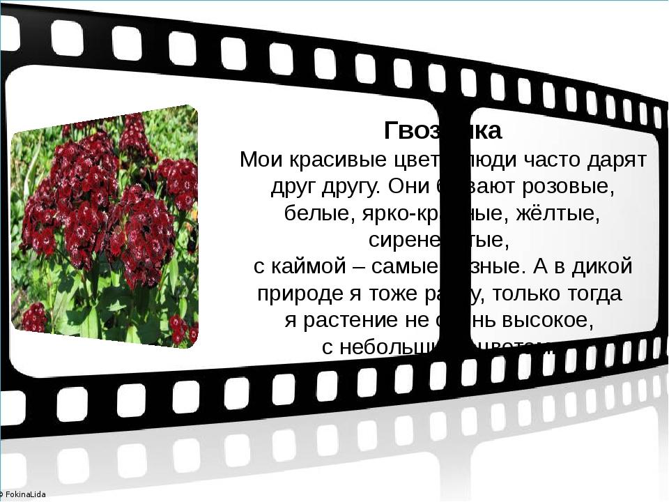 Гвоздика Мои красивые цветы люди часто дарят друг другу. Они бывают розовые,...