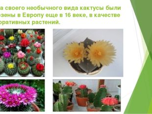 Из за своего необычного вида кактусы были завезены в Европу еще в 16 веке, в