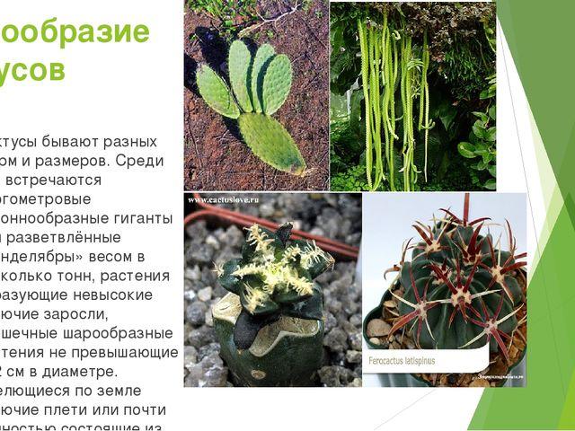 Разнообразие кактусов Кактусы бывают разных форм и размеров. Среди них встреч...
