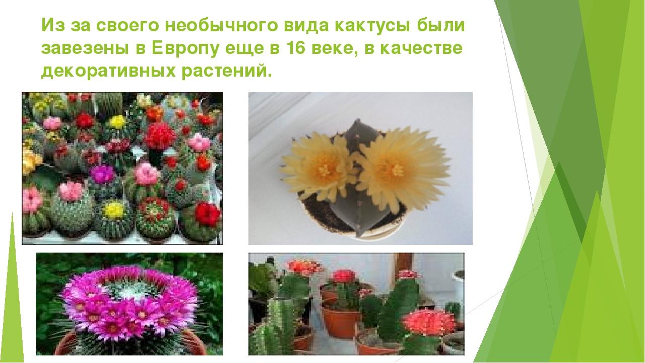 Из за своего необычного вида кактусы были завезены в Европу еще в 16 веке, в...