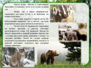 Барсук редок, обитает в осветленных березовых и осиновых лесах и по сухим ск