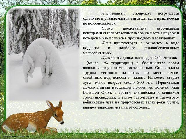 Лиственница сибирская встречается одиночно в разных частях заповедника и пра...