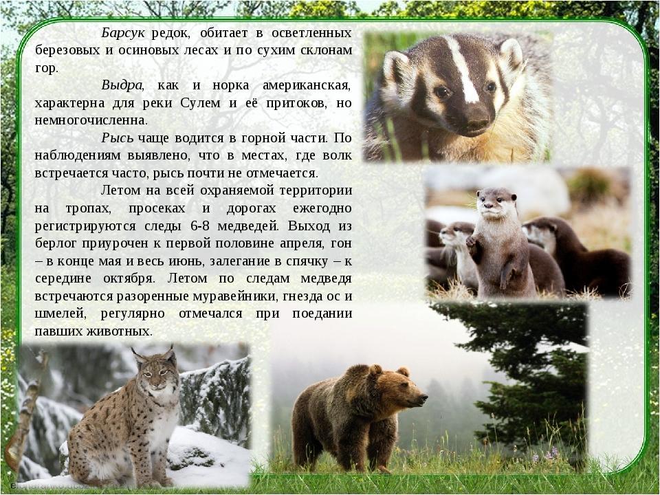 Барсук редок, обитает в осветленных березовых и осиновых лесах и по сухим ск...