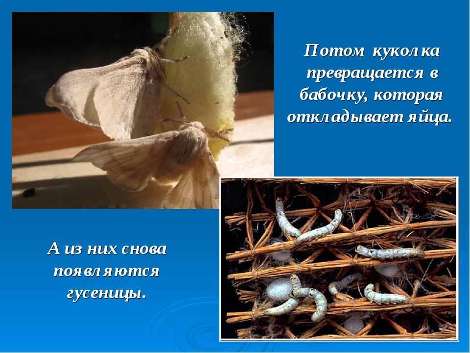 Потом куколка превращается в бабочку, которая откладывает яйца. А из них снов...