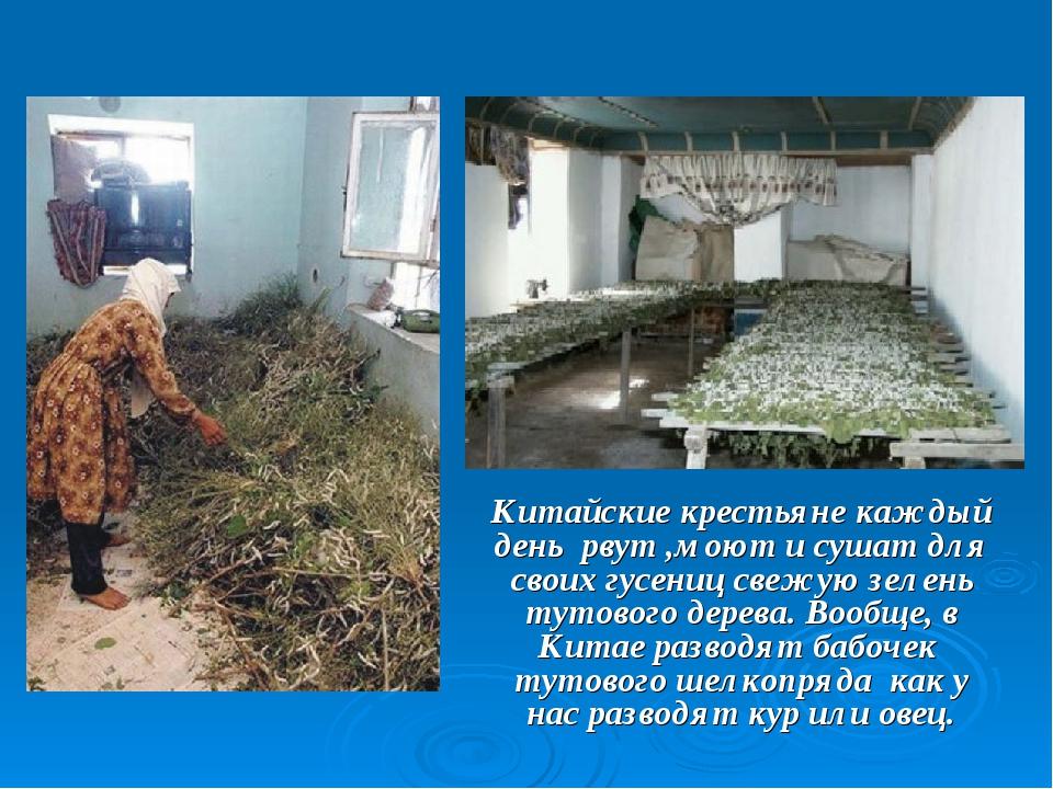 Китайские крестьяне каждый день рвут ,моют и сушат для своих гусениц свежую...