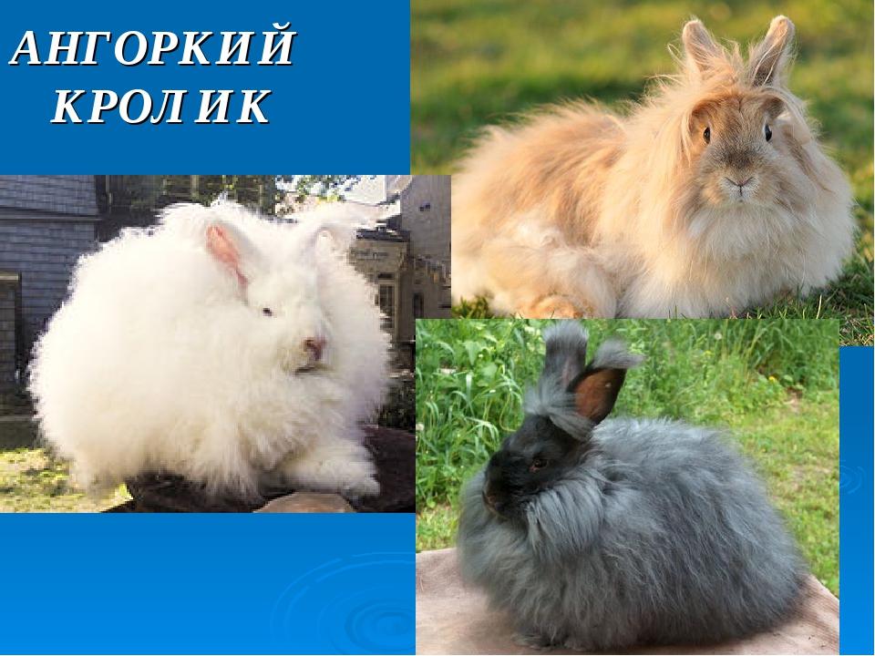 АНГОРКИЙ КРОЛИК