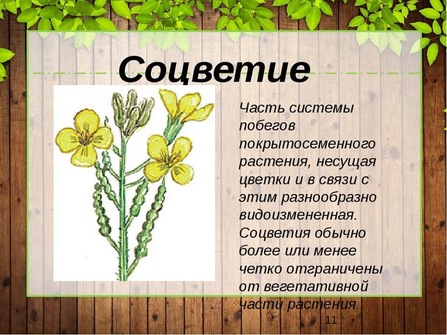 Соцветие Часть системы побегов покрытосеменного растения, несущая цветки и в...
