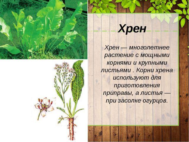 Хрен Хрен — многолетнее растение с мощными корнями и крупными листьями . Кор...