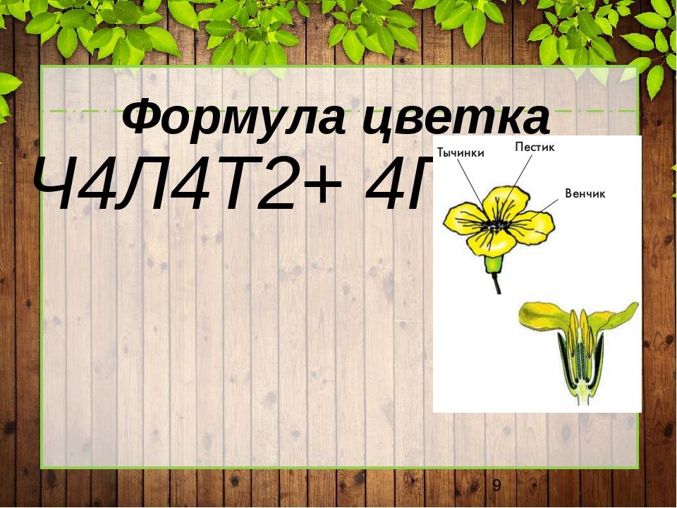 Формула цветка Ч4Л4Т2+ 4П1.