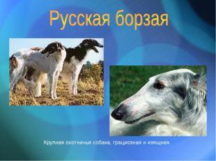 Крупная охотничья собака, грациозная и изящная.