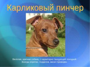 Весёлая, крепкая собака, с характерно танцующей походкой. Всегда опрятен, гор