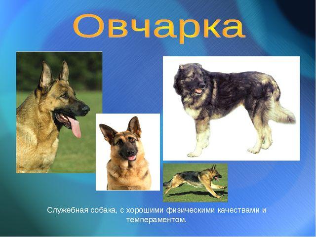 Служебная собака, с хорошими физическими качествами и темпераментом.