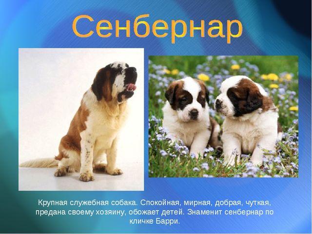 Крупная служебная собака. Спокойная, мирная, добрая, чуткая, предана своему х...