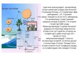 Адам мен жануарлардың организмінде күкіртаминқышқылдарымен белоктың құрамын