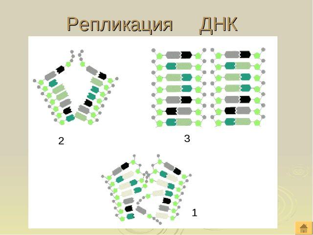 Репликация ДНК 1 2 3