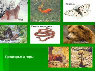 Рысь Апполон Кавказская гадюка Тетерев Благородный олень Бурый медведь Кавказ